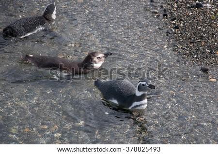 Magellanic penguin (Spheniscus magellanicus) swimming on Isla Martillo, Beagle channel, Ushuaia. - stock photo