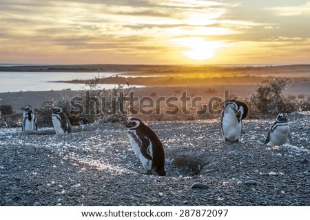 Magellanic Penguins, very early golden morning at Natural protected area Punta Tombo, Chubut, Patagonia, Argentina - stock photo
