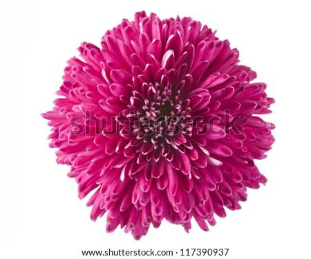 magenta chrysanthemum isolated on white background - stock photo