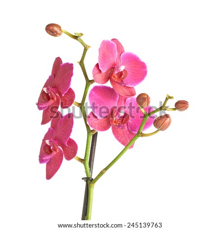 Magenta orchid flower isolated over the white background, close-up fragment composition - stock photo