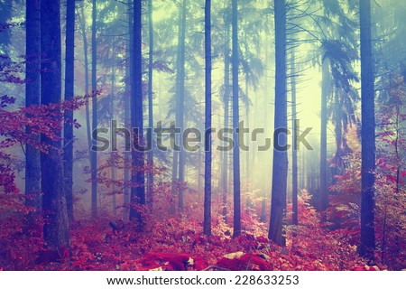 Magic autumn color vintage foggy forest with red colored leaves. Vintage color effect used. - stock photo