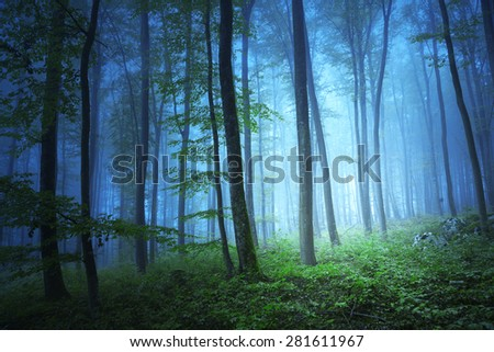 Magic blue color light in mystic beech tree forrest.  - stock photo