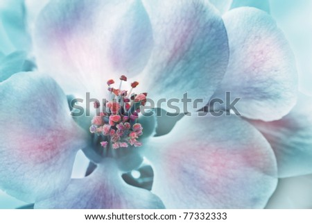 Magic Chaenomeles japonica  flower - stock photo
