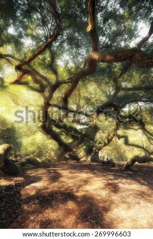 Magic forest. Angel Oak Tree, Charleston, South Carolina, USA - stock photo