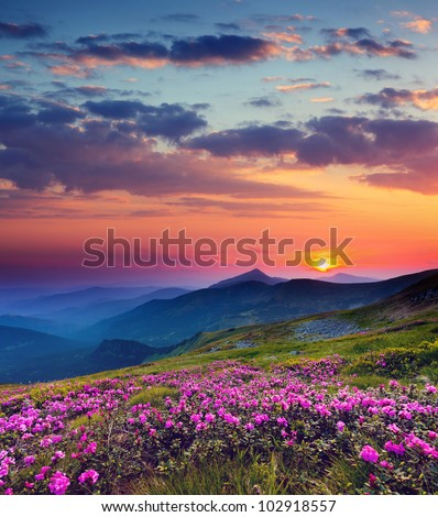 Magic pink rhododendron flowers on summer mountain - stock photo