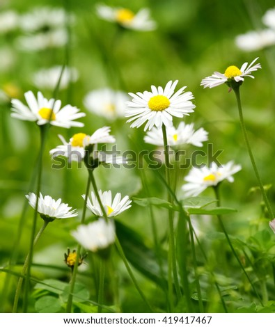 Magic spring daisies on the lawn on a sunny day, blurred green background / texture. Chamomile flowers field - stock photo