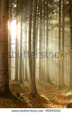 Magic sunbeams falls into misty coniferous woods. Photo taken in November. - stock photo