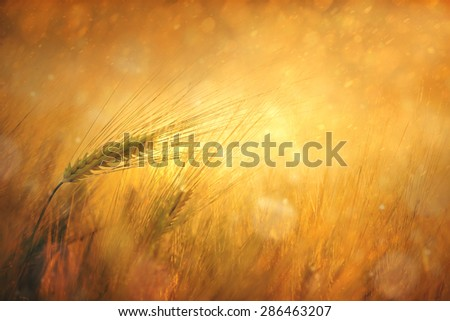 Magical golden color wheat closeup background. Selective focus used. Countryside sunny wheat field fantasy background. - stock photo