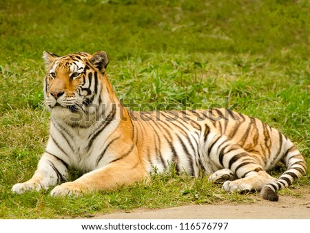 Magnificent Amur tiger. Exotic predator cat - stock photo