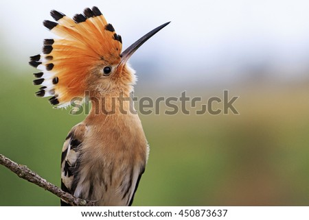 magnificent bird with bangs - stock photo