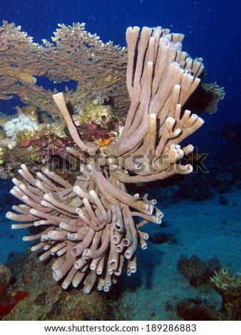 Magnificent colonial tube sponge (porifera) - stock photo