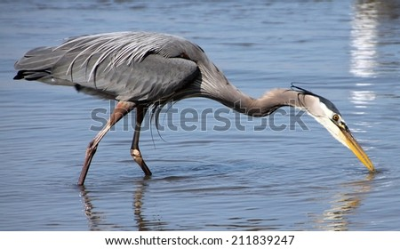Magnificent great grey heron fishing in shallow waters of pacific coast - stock photo