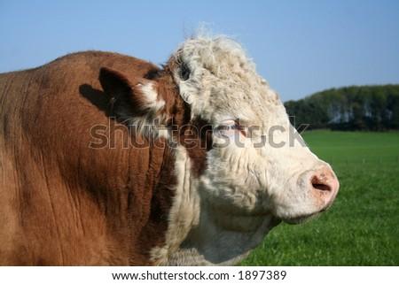 Magnificent Hereford Bull - stock photo