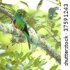 magnificent resplendent quetzal , san gerardo de dota, savegre mountain, costa rica - stock photo