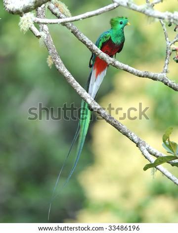 magnificent resplendent quetzal , san gerardo de dota, savegre mountain, costa rica, central america. rainbow multicolored exotic bird parrot in tropical rainforest tree copyspace full length - stock photo