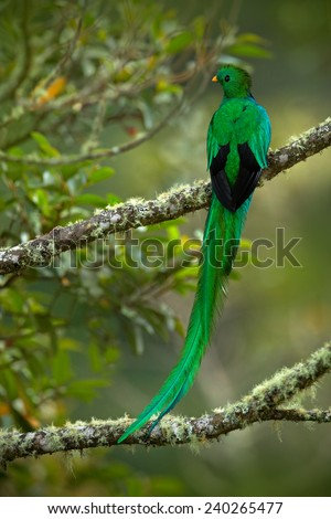 Magnificent sacred green and red bird Resplendent Quetzal (Pharomachrus mocinno)  from Savegre in Costa Rica with very long tail - stock photo