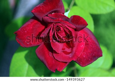 Magnificent  scented red velvety  bloom of  exhibition rose Climbing Chrysler Imperial on a fine autumn  day. - stock photo