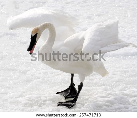 Magnificent Trumpeter Swan standing on snow covered ground in Aggressive Fighting stance - stock photo