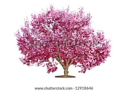 Magnolia blooming tree, isolated on white background - stock photo
