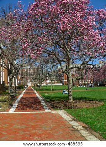 Magnolia Blooms on University Campus - stock photo