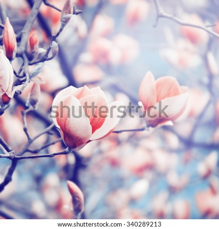Magnolia blossoming in spring. Color toning effect applied. - stock photo