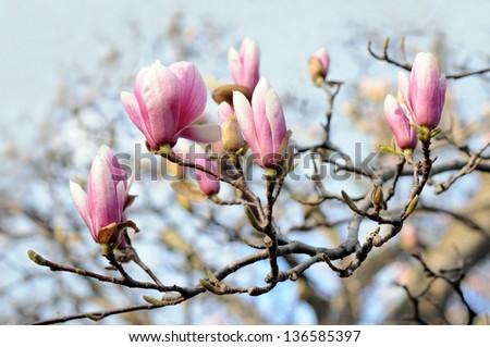 magnolia branch in morning time of Spring season - stock photo