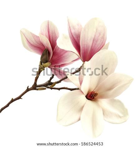 magnolia flower  - stock photo