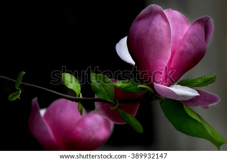 Magnolia flower - stock photo