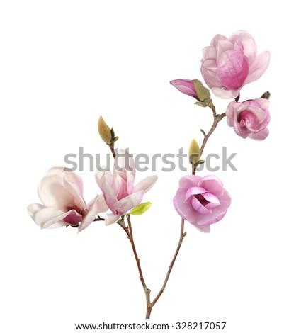 magnolia flower isolated on white background  - stock photo