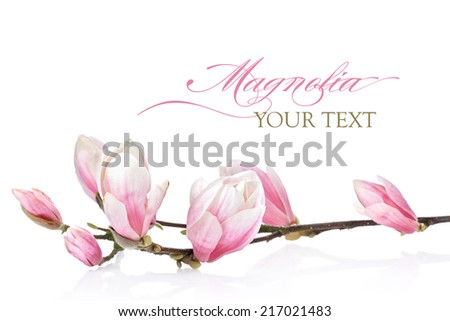 Magnolia flower on a white background - stock photo