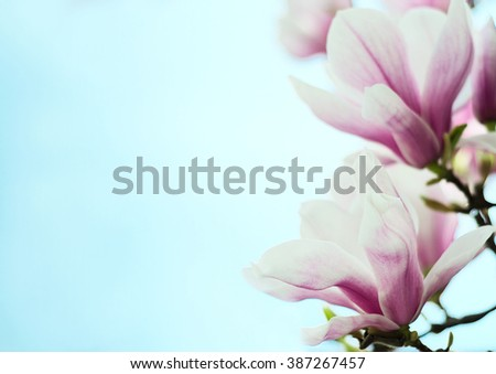 magnolia flowers on a background of blue sky - stock photo
