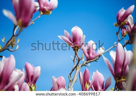 Magnolia flowers on blue sky background. - stock photo