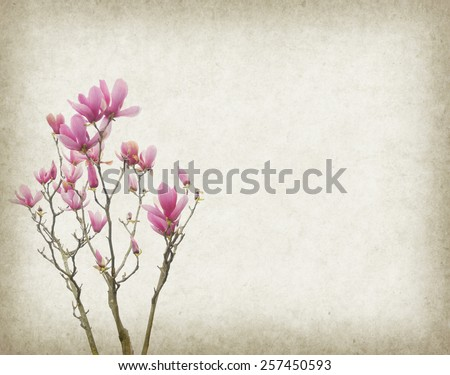 magnolia flowers on old paper background - stock photo