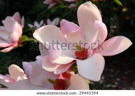 magnolia in sunset light - stock photo