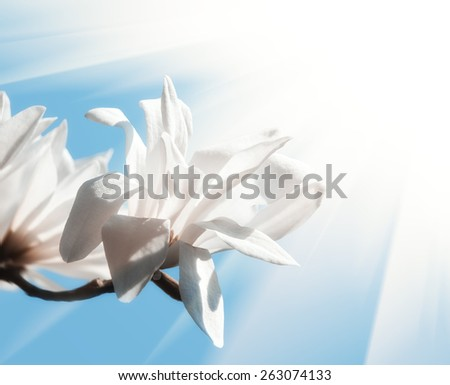 Magnolia kobus. Soft focus image of blooming tree with white flowers and sun light - stock photo