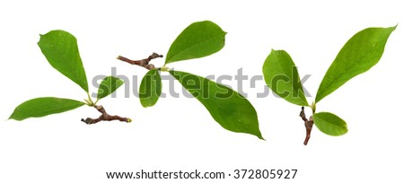 Magnolia leaf isolated on a white background - stock photo