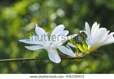 Magnolia stellata - stock photo