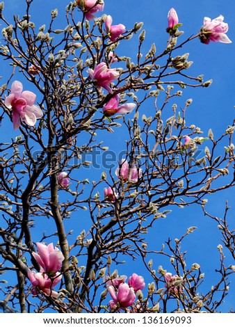 Magnolia Tree and Flowers - stock photo