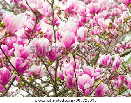 Magnolia tree with flowers - stock photo
