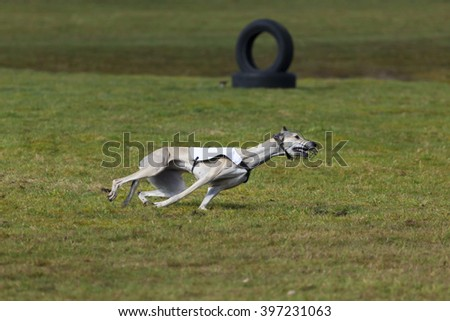 Magyar Agar race hound at coursing competition - stock photo