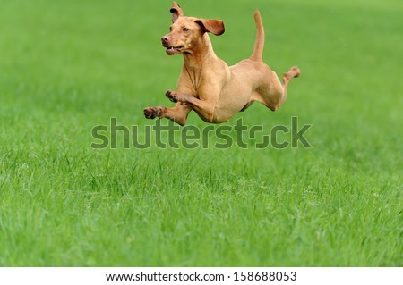 Magyar Vizsla Dog  jumping above the meadow Ungarischer Vorstehhund  - stock photo