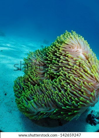 Mahnificent anemone with Red Sea Anemonefish (amphiprion bicinctus) - stock photo