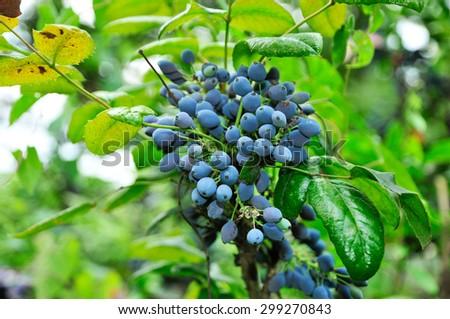 Mahonia aquifolium (Oregon-grape or Oregon grape) is a species of flowering plant in the family Berberidaceae, native to western North America. - stock photo