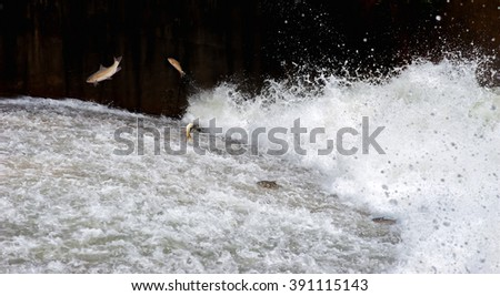 Mahseer barb fish jumping returning to spawn in Fish ladder, Water flow - stock photo