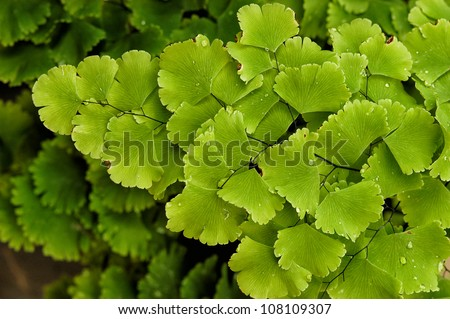 Maidenhair fern,Adiantum Fern - stock photo