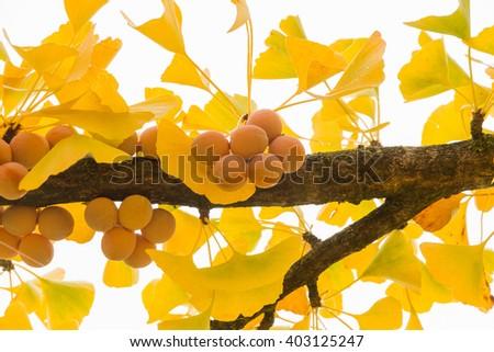 Maidenhair Tree ( Ginkgo Biloba ) branch full of ripe fruit in autumn   - stock photo