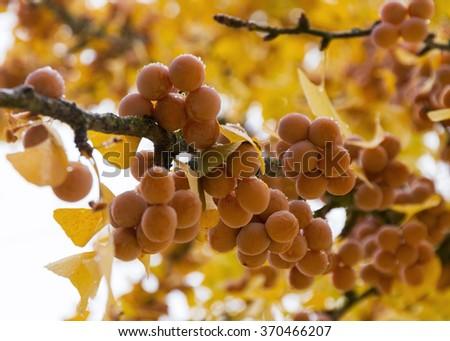 Maidenhair Tree ( Ginkgo Biloba tree ) branch full of ripe fruit in autumn  - stock photo
