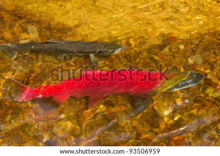 main run  blue-backed salmon red  fish ( Commander Islands ). male and female - stock photo