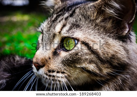 Maine Coon black tabby cat with green eye on grass. Macro  - stock photo