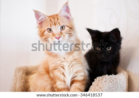 Maine coon cat and black kitten - stock photo